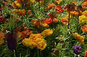 Hintergrundbilder Tulpen Schachblume Großansicht Blüte