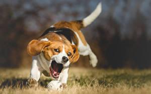 Fotos Hunde Beagle Laufen Lauf Ball Tiere