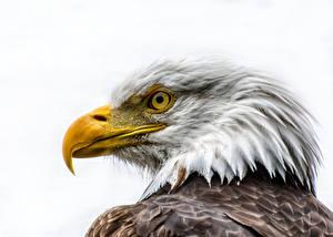 Sfondi desktop Uccelli Accipitrini Becco Testa Aquila calva Sfondo bianco