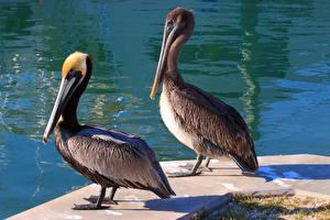 Fotos Vogel Pelikane Wasser Zwei