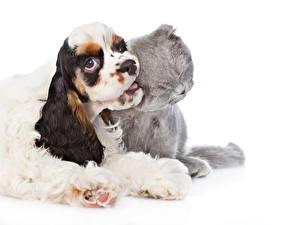 Fotos Hauskatze Hunde Weißer hintergrund 2 Spaniel Cocker Spaniel Tiere