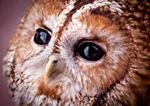 Hintergrundbilder Großansicht Makrofotografie Augen Eulen Vogel Schnabel Tawny owl Tiere