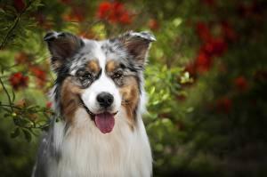 Bilder Hunde Australian Shepherd