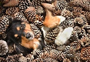 Hintergrundbilder Hunde Australian Shepherd Zapfen Tiere