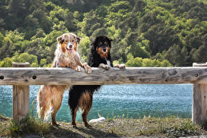 Fotos Hunde Australian Shepherd Zwei Zaun Blick Nass