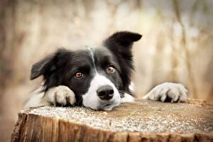 Tapety na pulpit Pies domowy Border collie Spojrzenie Pień Zwierzęta