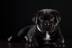 Bilder Hunde Cane Corso Italiano Schwarz Schwarzer Hintergrund Tiere