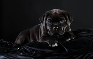 Fotos Hunde Cane Corso Italiano Schwarz Schwarzer Hintergrund Tiere