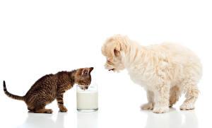 Fotos Hunde Katze Milch Malteser Weißer hintergrund Katzenjunges Welpe Trinkglas 2 Tiere