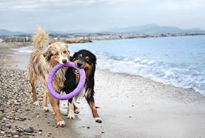 Fotos Hunde Küste 2 Australian Shepherd Nass
