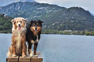 Fotos Hunde 2 Australian Shepherd Starren