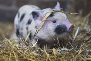 Images Domestic pig Cubs Straw Animals