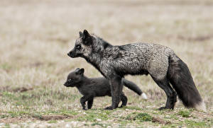 Pictures Foxes Cubs 2 Black animal