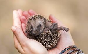 Image Hedgehogs Closeup Cubs Hands Animals