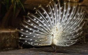 Hintergrundbilder Pfauen Vogel Weiß