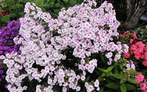 Hintergrundbilder Phlox Blüte
