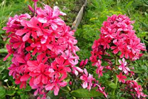 Hintergrundbilder Phlox Rosa Farbe