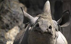 Hintergrundbilder Rhinozeros Großansicht Makro Schnauze ein Tier