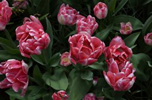 Hintergrundbilder Tulpen Großansicht Rosa Farbe Blumen