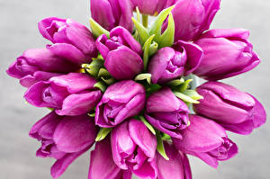 Bilder Tulpen Hautnah Violett Blüte