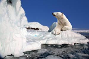Image Bears Polar bears Ice Animals