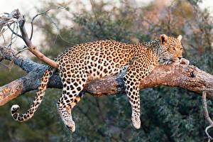 Hintergrundbilder Große Katze Leopard Ast Tiere
