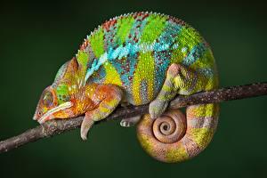 Bilder Chamäleons Ast Mehrfarbige Tiere