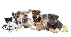 Fotos Hunde Katze Hausmeerschweinchen Hühner Weißer hintergrund Siberian Husky Jack Russell Terrier Welpen Tiere