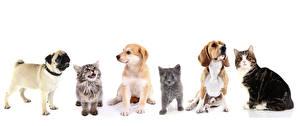 Fotos Hunde Katze Weißer hintergrund Katzenjunges Mops (Hunderasse) Beagle Retriever