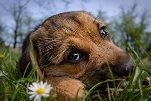 Fotos Hunde Großansicht Welpe Blick Gras Schnauze Süß Tiere