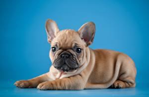 Hintergrundbilder Hunde Französische Bulldogge Farbigen hintergrund Blick ein Tier