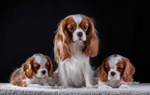 Bilder Hunde King Charles Spaniel Welpen Drei 3