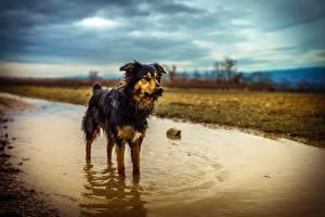 Hintergrundbilder Hunde Pfütze Nass Australian Shepherd