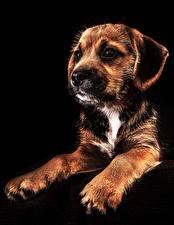 Hintergrundbilder Hunde Welpe Schwarzer Hintergrund Pfote Tiere