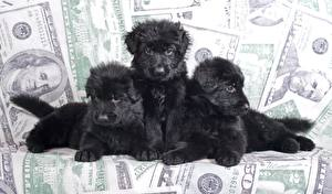Pictures Dogs Puppy Three 3 Shepherd Black