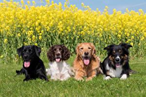Bilder Hunde Raps Gras Border Collie Spaniel Retriever Labrador Retriever