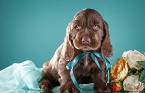 Hintergrundbilder Hund Spaniel Braun Welpen
