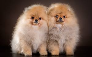 Picture Dogs Spitz 2 Fluffy Animals