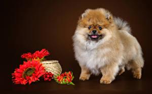 Fotos Hunde Sonnenblumen Spitz Schwarzer Hintergrund Tiere