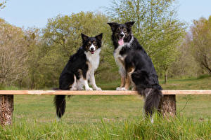 Wallpaper Dogs Two Border Collie Bench Glance Animals