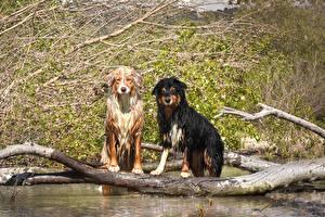 Hintergrundbilder Hunde Wasser Zwei Australian Shepherd Baumstamm