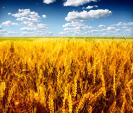 Bilder Acker Himmel Weizen Ähre Wolke Natur