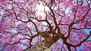 Fotos Blühende Bäume Bäume Baumstamm Ast Untersicht Ansicht von unten Natur