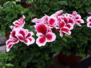 Picture Geranium Closeup Flowers