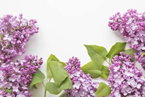 Bilder Flieder Weißer hintergrund Vorlage Grußkarte Ast Blumen