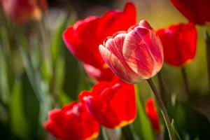 Bilder Tulpen Nahaufnahme Blüte