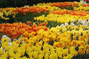 Hintergrundbilder Tulpen Narzissen Viel Gelb Blüte