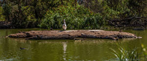 Fotos Australien Park Teich Vögel Pelikane Mount Lofty Botanic Garden Natur