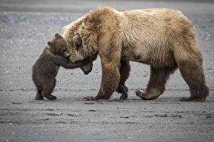 Hintergrundbilder Bären Braunbär Jungtiere Umarmung Süßes Tiere