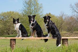 Tapety na pulpit Pies domowy Border collie Ławka Trzy Spojrzenie zwierzę